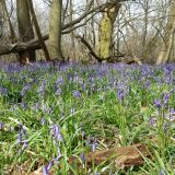 Trosley Country Park bluebells, Source:
