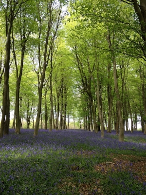 Photo of the bluebells and beech trees in Kings Wood, Source:Alison Howe